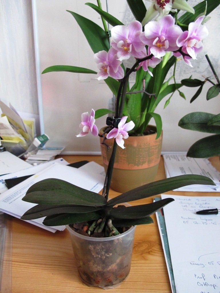 belles de candeur rempotage du petit phalaenopsis rose mouchet. Black Bedroom Furniture Sets. Home Design Ideas